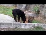 Tiger VS Rottweiler