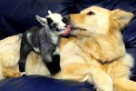 Lovely Photos of Dogs Caring for Adorable Baby Animals