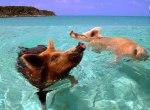 Secret Island Where Wild Pigs Swim With Humans