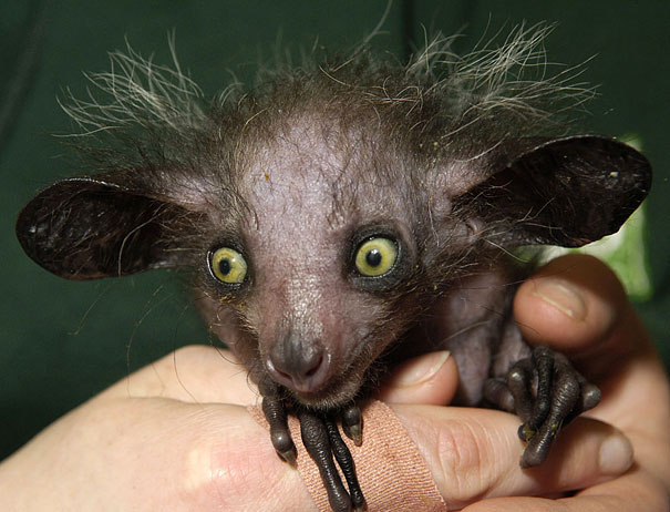 22 Strange Animals You Probably Didn't Know Exist - Aye-aye