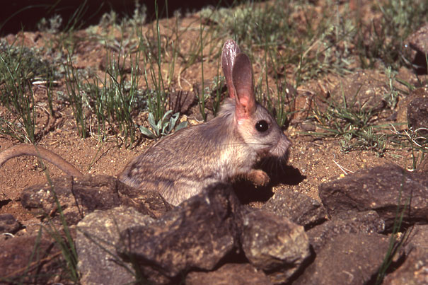 22 Strange Animals You Probably Didn't Know Exist - Gobi Jerboa
