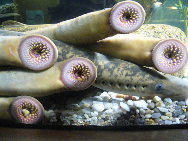 22 Strange Animals You Probably Didn't Know Exist - Lamprey