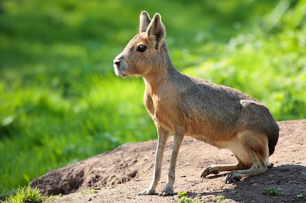 22 Strange Animals You Probably Didn't Know Exist - Patagonian Mara