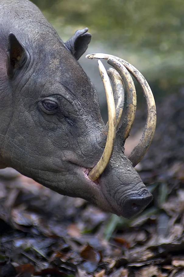 22 Strange Animals You Probably Didn't Know Exist - The Babirusa