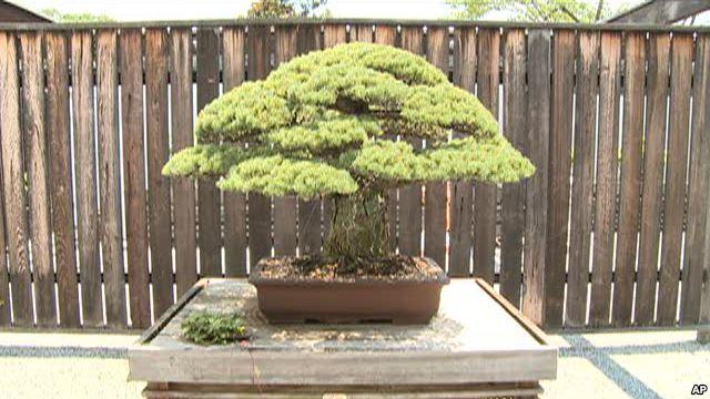 400-Year-Old Bonsai Survived Hiroshima Bombing