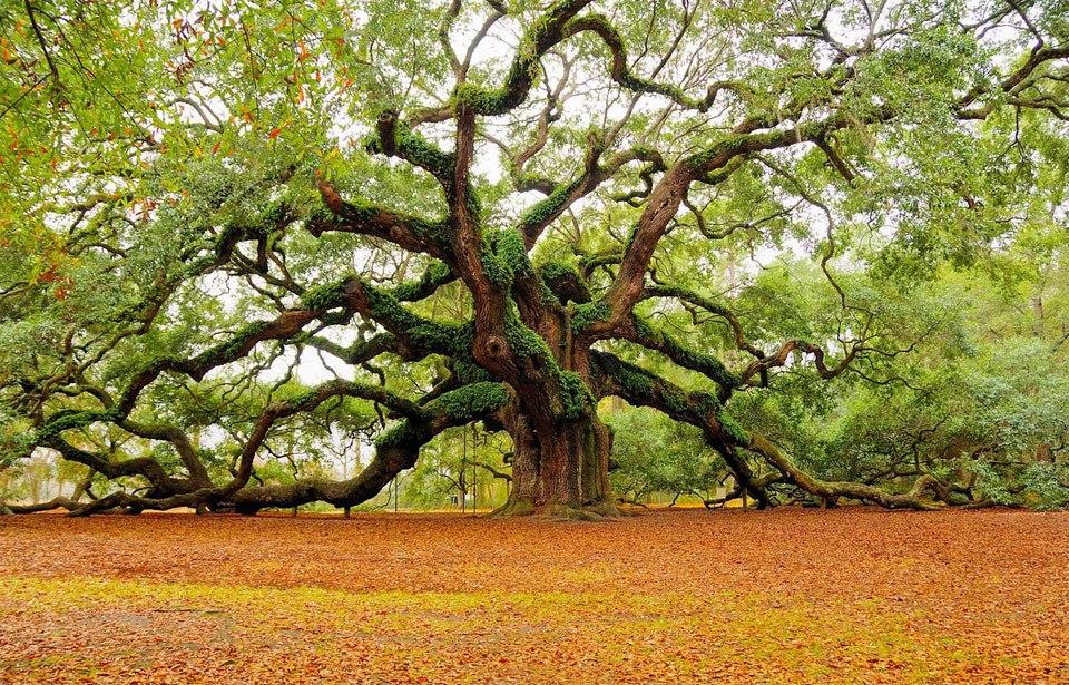 Beautiful Trees - Angel Oak Tree in Charleston
