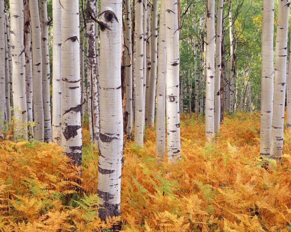 Beautiful Trees - Birch Tree forest