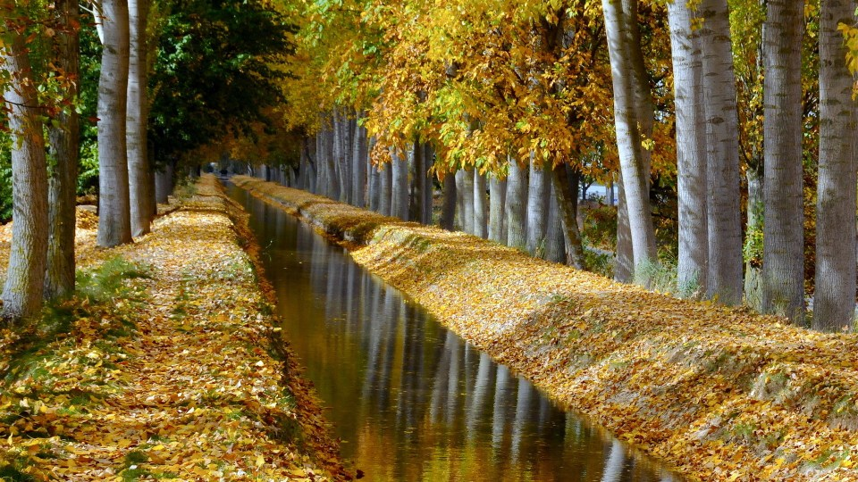 Birch Trees Lined Canal In Autumn