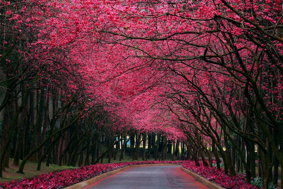 Beautiful Trees - Cherry blossom road