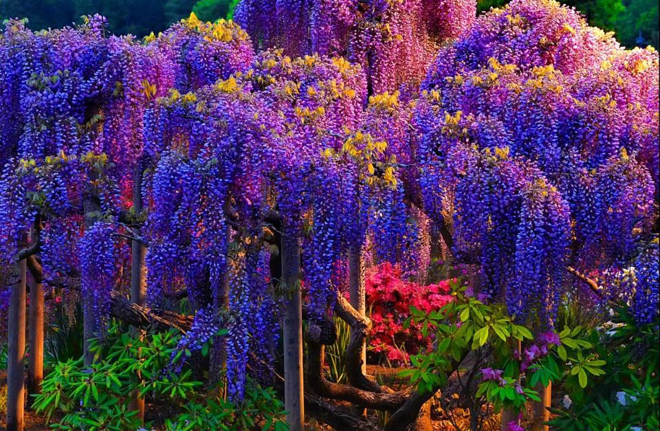 Beautiful Trees - Wisteria tree 1
