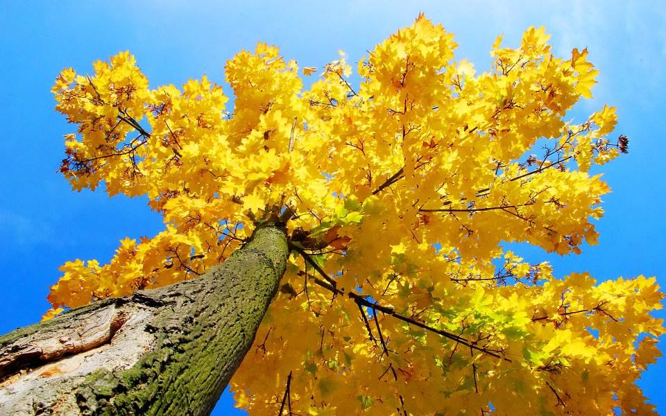 Beautiful Trees - Yellow maple tree autumn