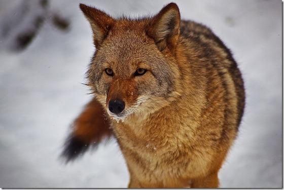 Mayan Spirit Animal - Coyote