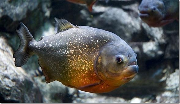 Mayan Spirit Animal - Piranha