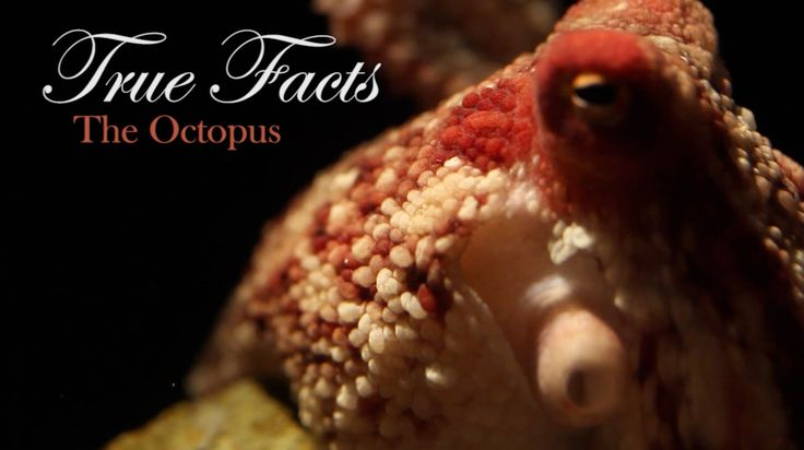 True Facts About The Octopus. Funniest Video about Octopuses EVER!