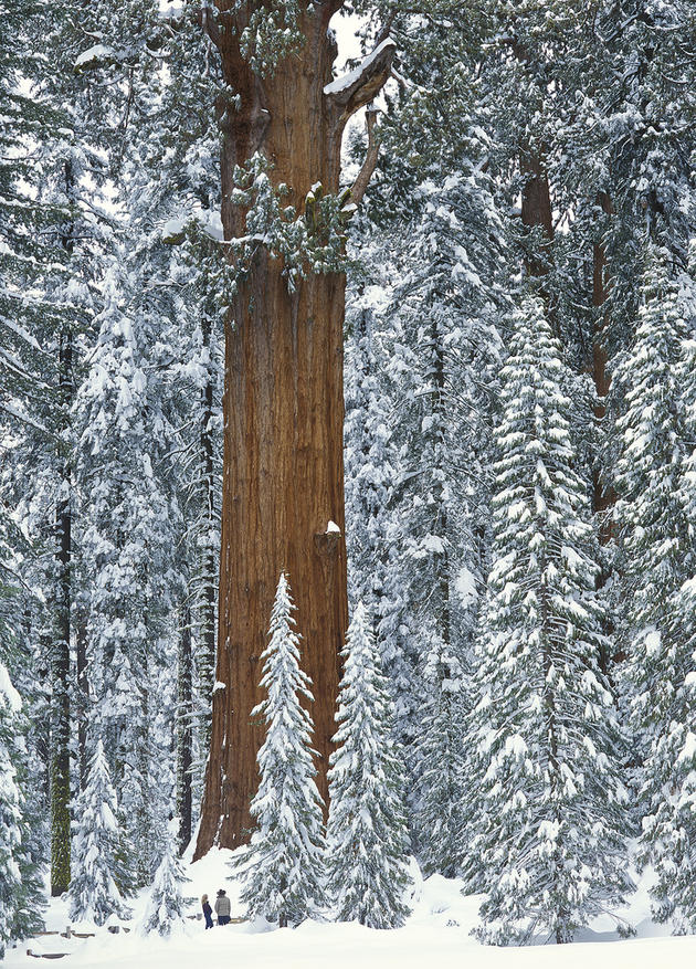 USA: California: Sequoia National Park: General Sherman Tree: Two visitors gaze up at the largest tree in the world
