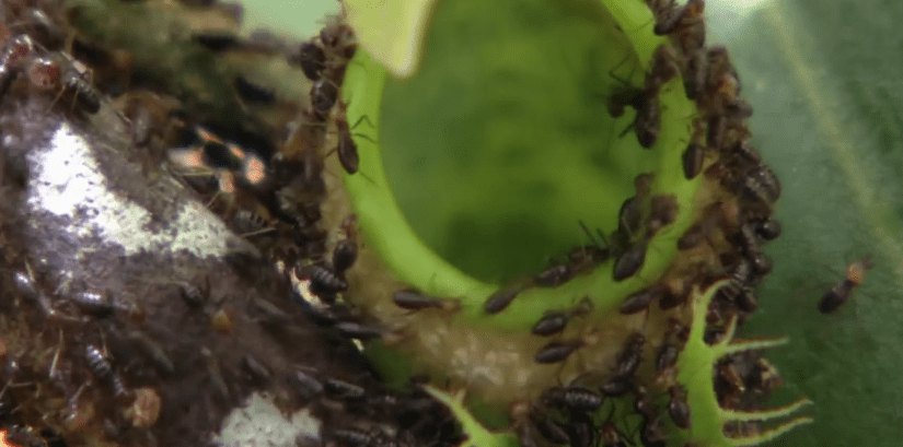 This Deadly Plant Attracts And Feasts On More Than 6,000 Insects An Hour