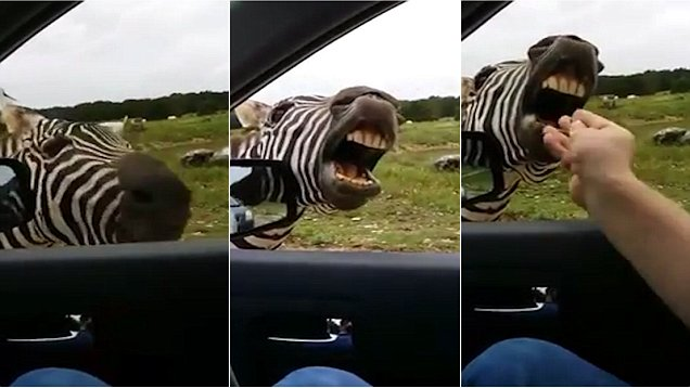 This Singing Zebra Is All You Need To Get Through The Week