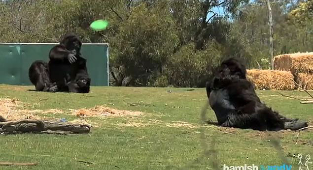 These Two Comedians Put On Gorilla Suits And Went Into A Zoo…The Result Is Hilarious