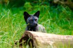 The Unique Beauty Of Black Foxes
