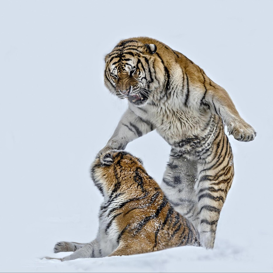 Two Siberian Tigers Fighting on Snow,