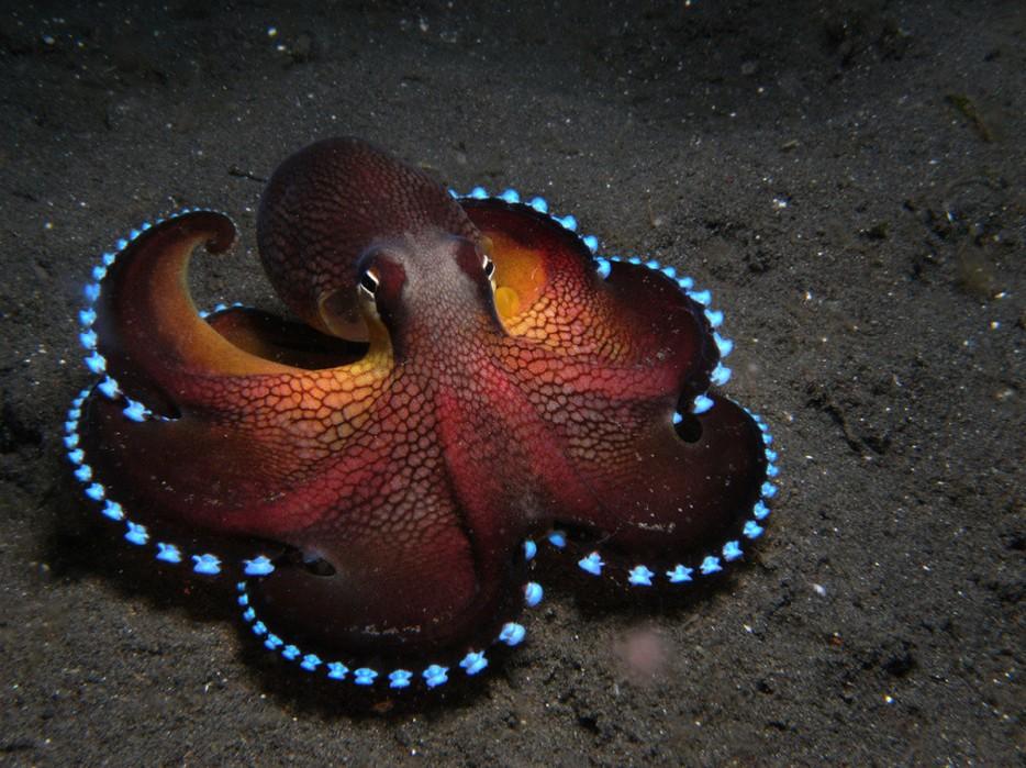 Blue Glowing Coconut Octopus