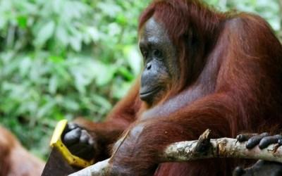 Orangutan Saws A Tree In The Wild