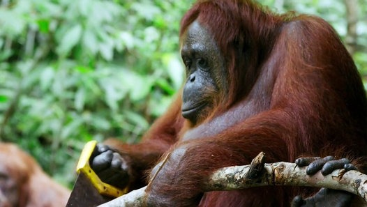 Orangutan Saws A Tree In The Wild