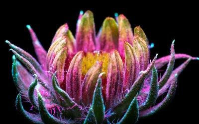 Pictures of Glowing Flowers Under UV Light