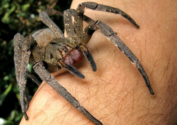 5 Most Venomous Animals in The World - Brazillian Wandering Spider
