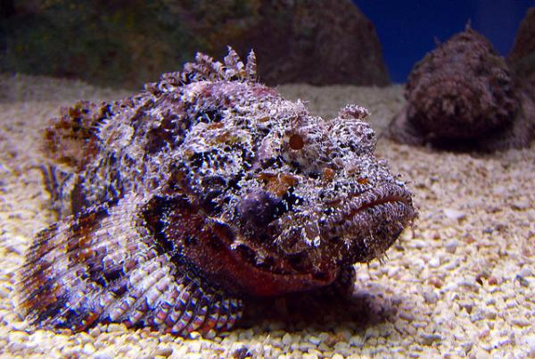 5 Most Venomous Animals in The World - The Stonefish
