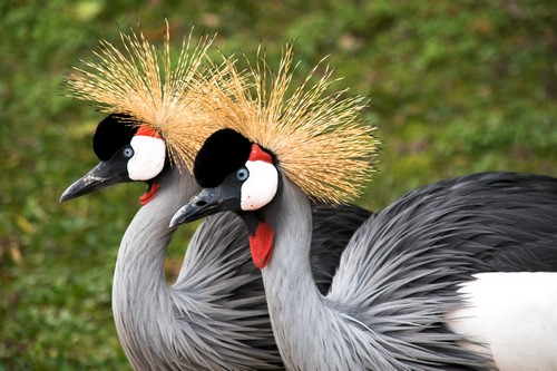 Beautifully Crowned Birds - 5. African Crane