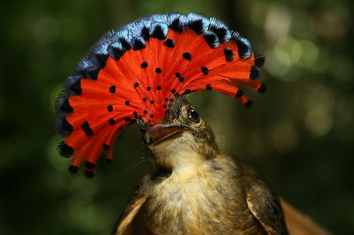 Beautifully Crowned Birds - 7. Royal Flycatcher