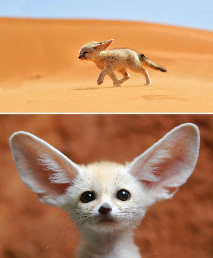 Rare Animal Babies You've Never Seen Before - 1. Baby Fennec Fox