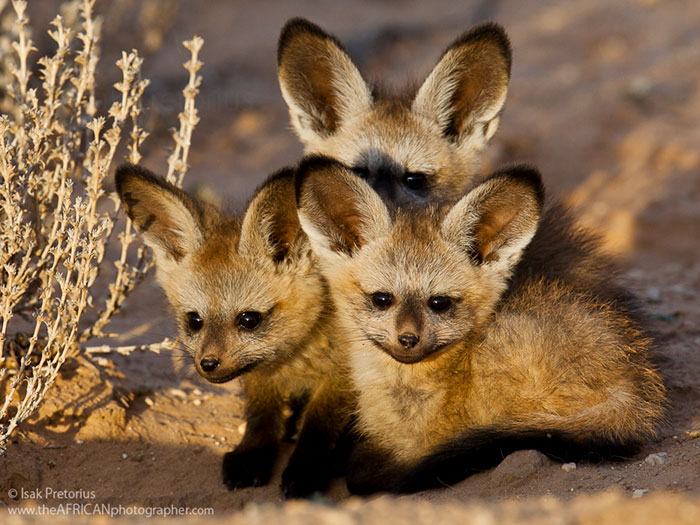 Rare Animal Babies You've Never Seen Before - 10. African Bat-Eared Foxes