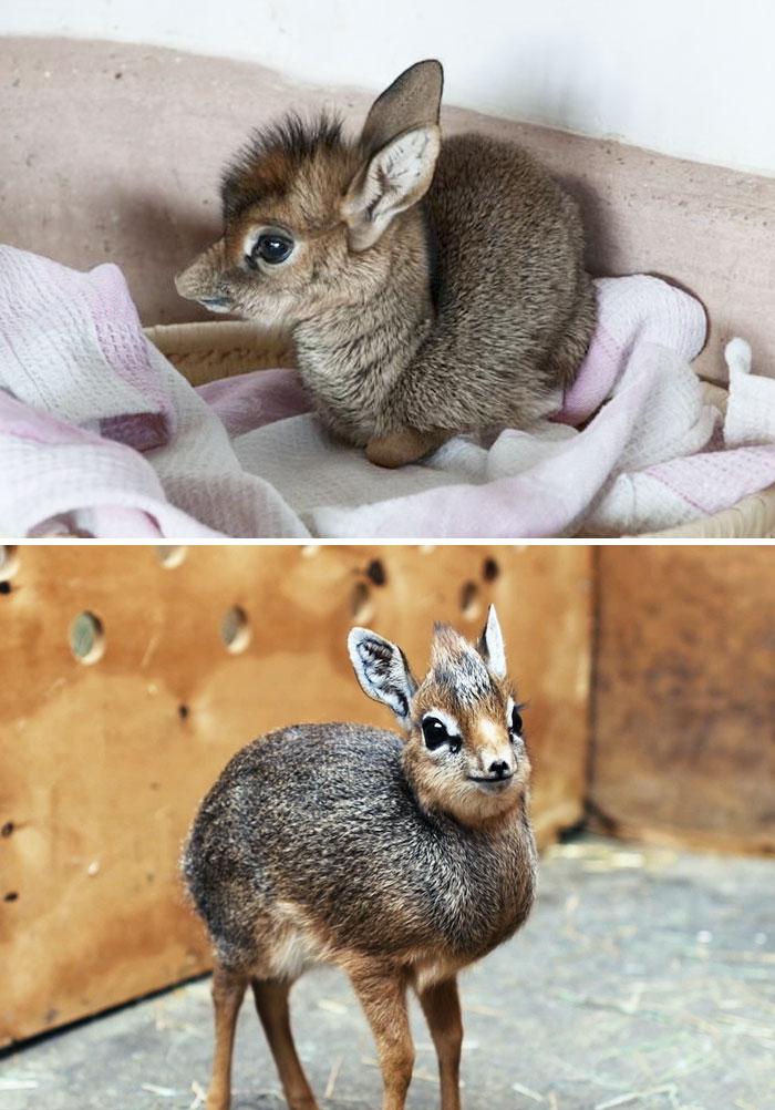 Rare Animal Babies You've Never Seen Before - 11. Baby Dik-Dik