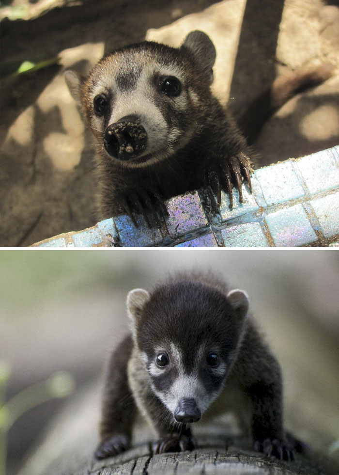 Rare Animal Babies You've Never Seen Before - 18. Baby White-Nosed Coati
