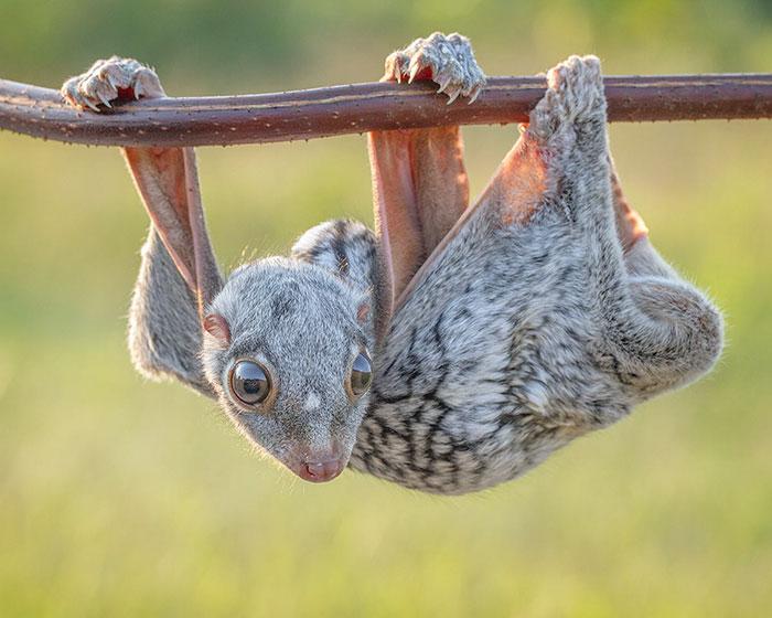 Rare Animal Babies You've Never Seen Before - 20. Baby Sunda Colugo