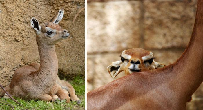 Rare Animal Babies You've Never Seen Before - 25. Gerenuk Calf