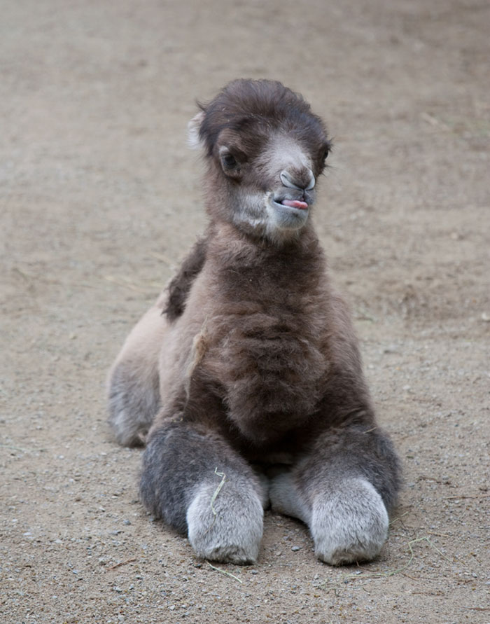 Rare Animal Babies You've Never Seen Before - 29. Baby Bactrian Camel