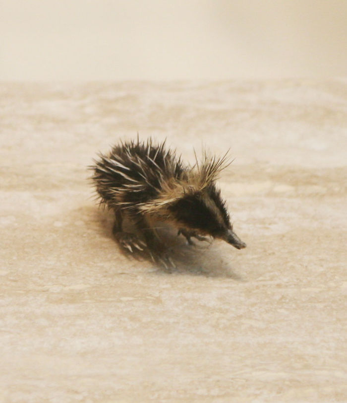 Rare Animal Babies You've Never Seen Before - 32. Baby Lowland Streaked Tenrec