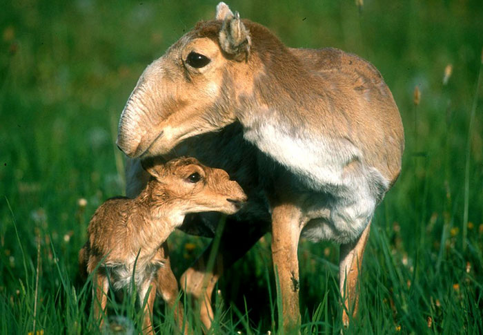 Rare Animal Babies You've Never Seen Before - 35. Saiga Baby