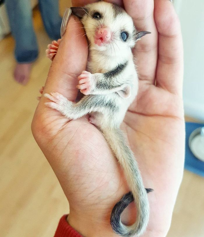Rare Animal Babies You've Never Seen Before - 9. Baby Sugarglider