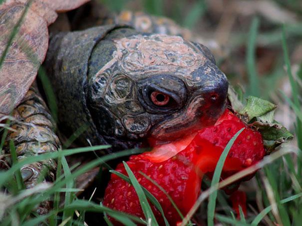 Turtle Animals Eating Berries Strawberry