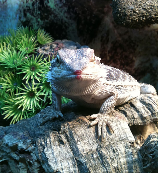 Bearded Dragon After Eating A Raspberry