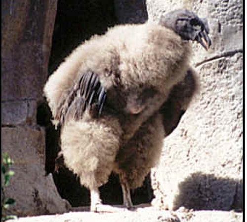 andean-condor-baby