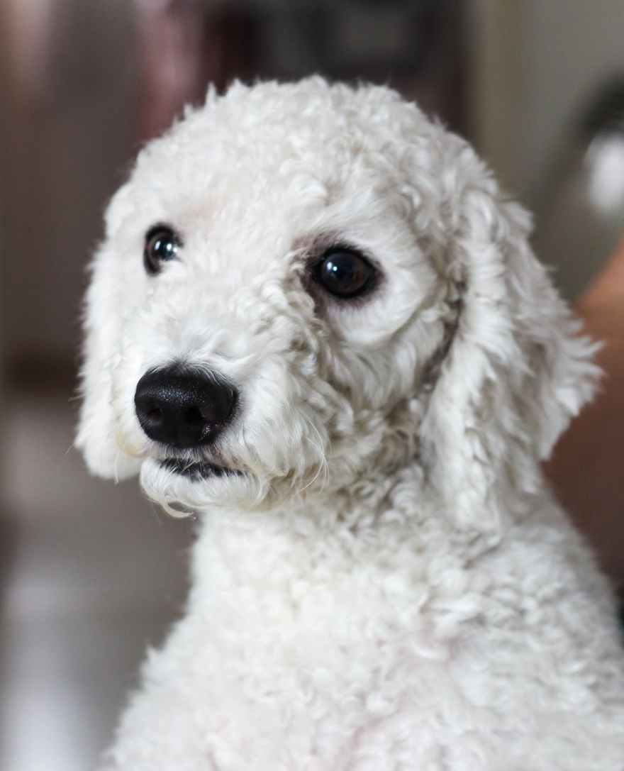 adult white toy poodle
