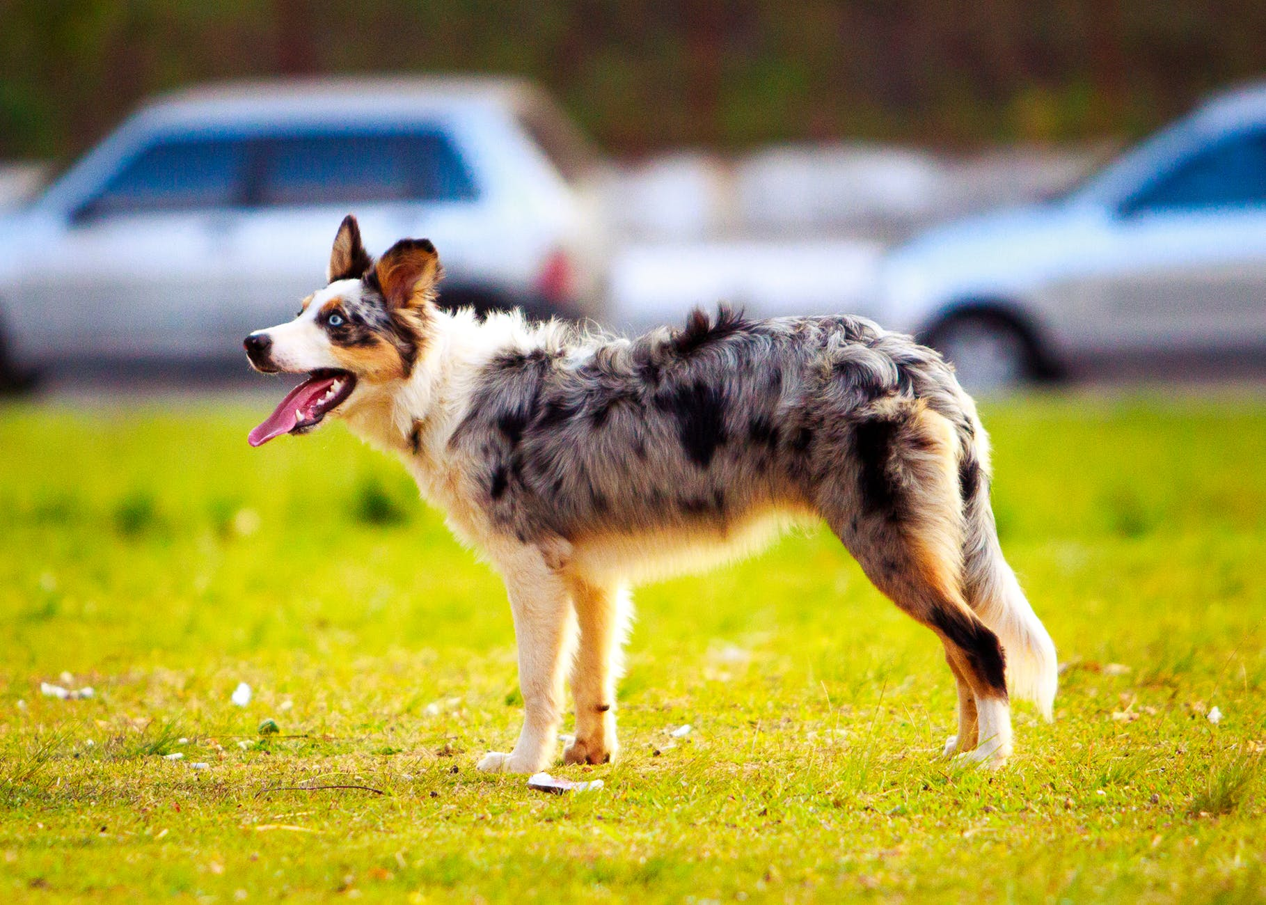 adult blue merle australian shepherd on grass field