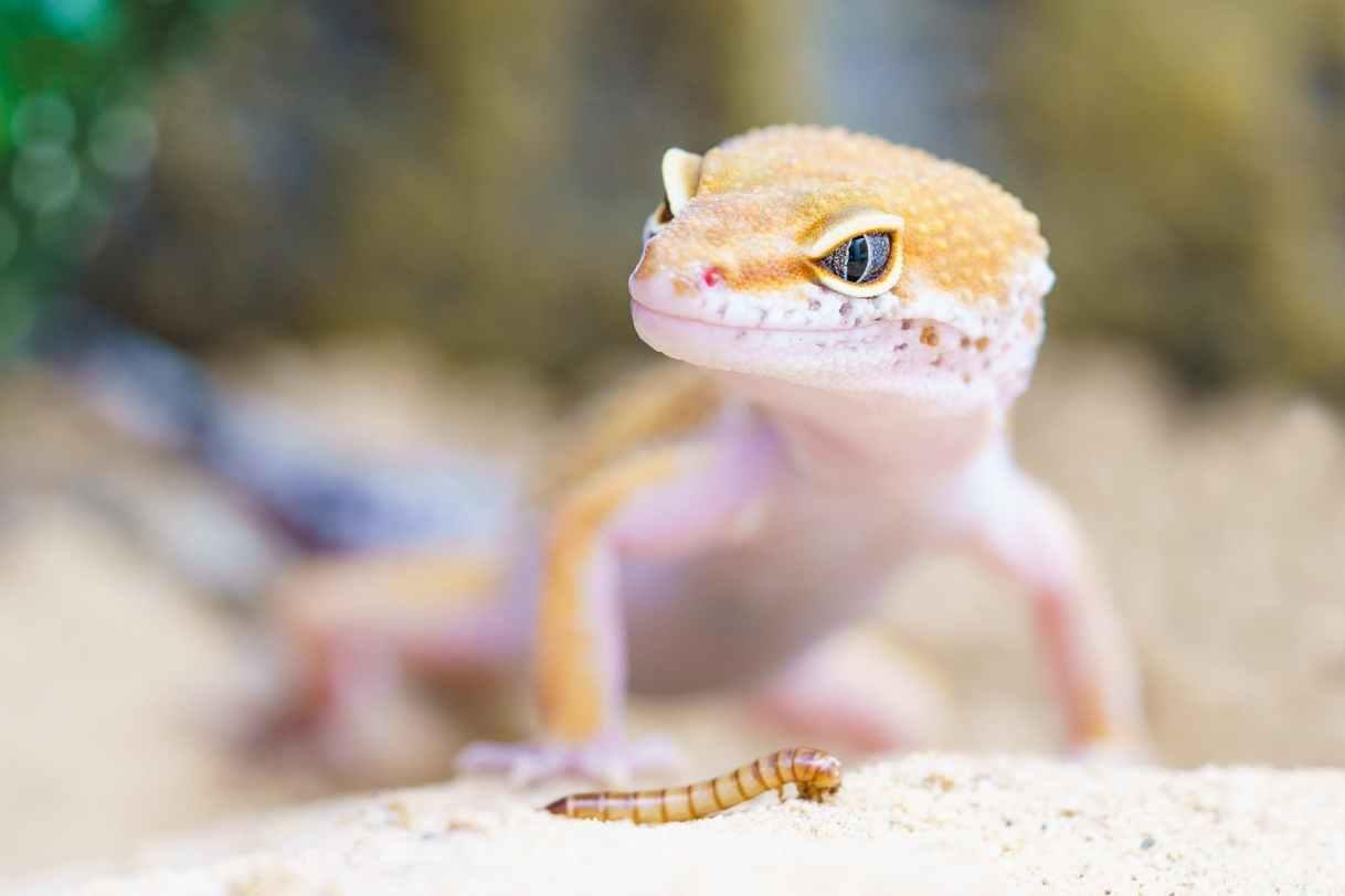 gecko-reptile-terrarium-lizard-407037