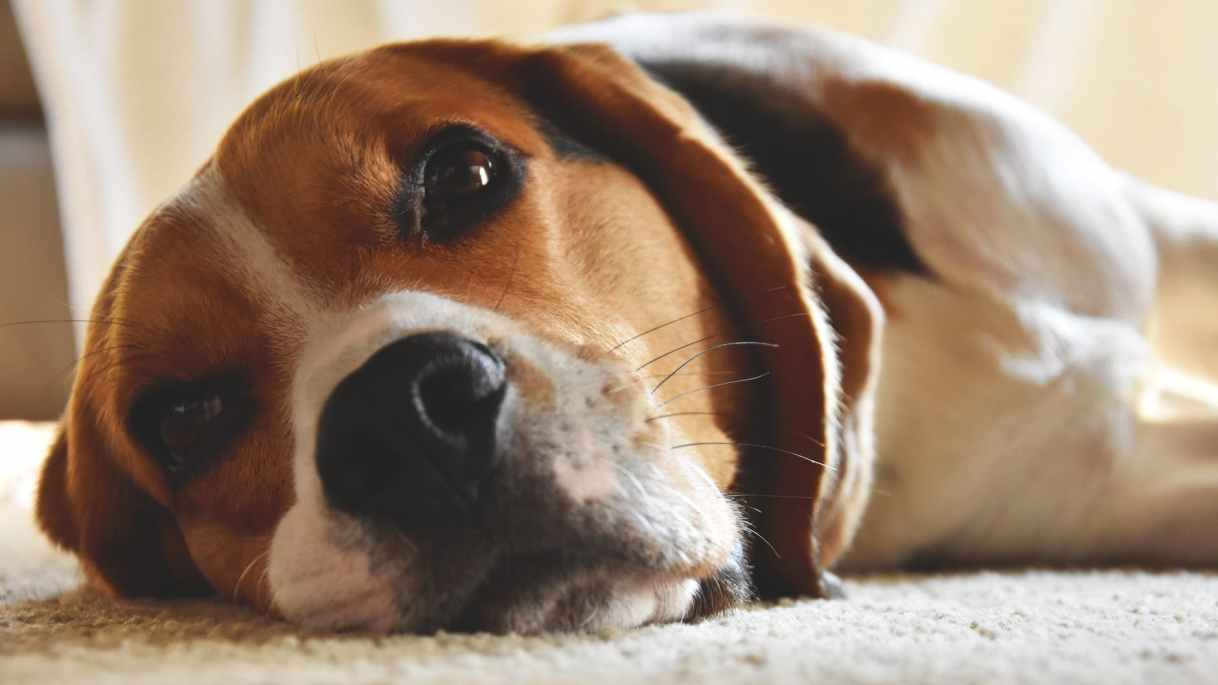 close up photography of beagle
