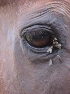 Natural Fly Control for horses